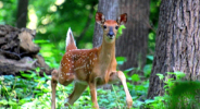 Running fawn at Fontenelle